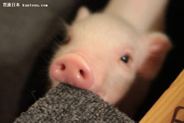 都很可爱,其实在现实世界中的宠物猪也是很萌的喔