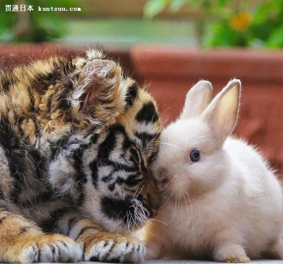 老虎,狮子与兔子和睦相处