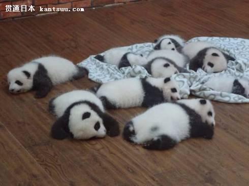 熊猫宝宝照片被疯转 日网友夸其杀人级别的可爱